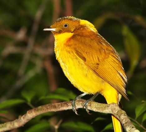 GoldenBowerbirdgorgeous