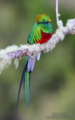 resplendent-quetzal4