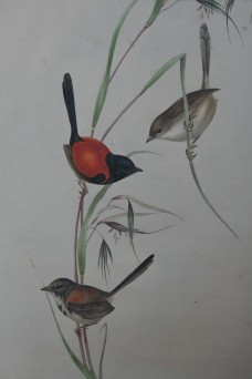 redbacked fairywren